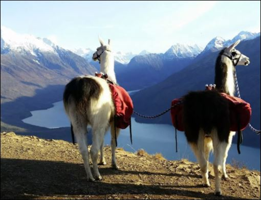 Masters of all they survey: These working llamas escort visitors on hikes in Alaska. Photo by Linda Neuchterlein of Alaska Llamas and Outdoors.